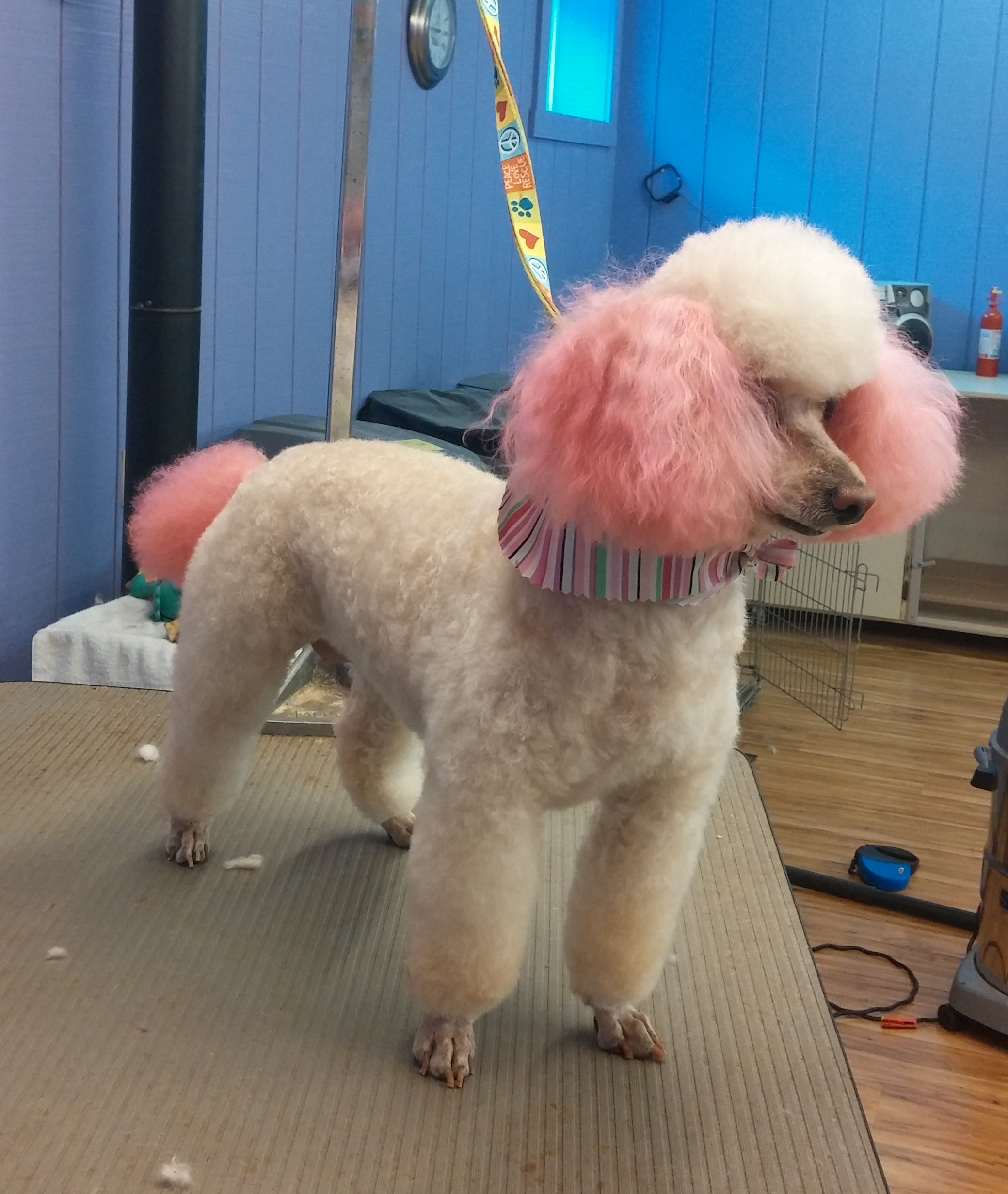 Pink ear and tail dye