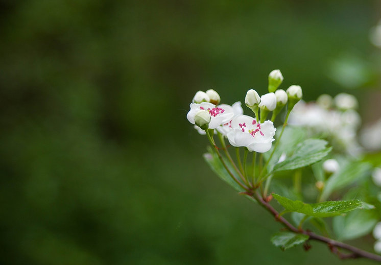 hawthorn-blossom-4158412_1920_edited.jpg
