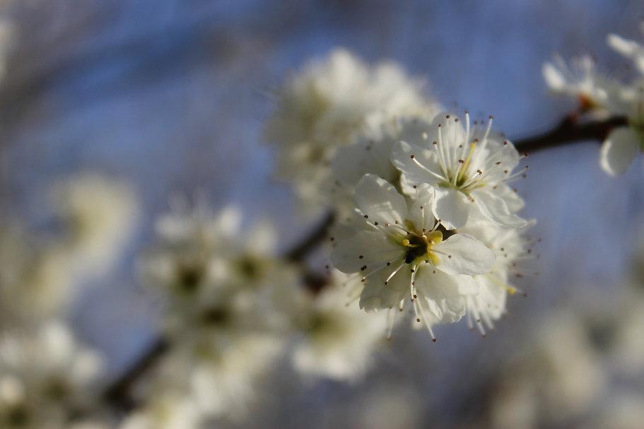 blossom-5064294_edited.jpg