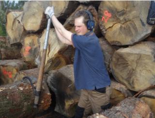 Oli rolling oak trunks to the sawmill