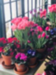 the pretty spring tulips.jpg