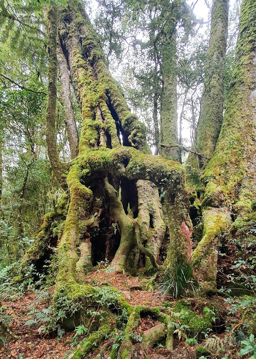 The Goblin Forest Toolona Creek Falls Hike Lamington National Park