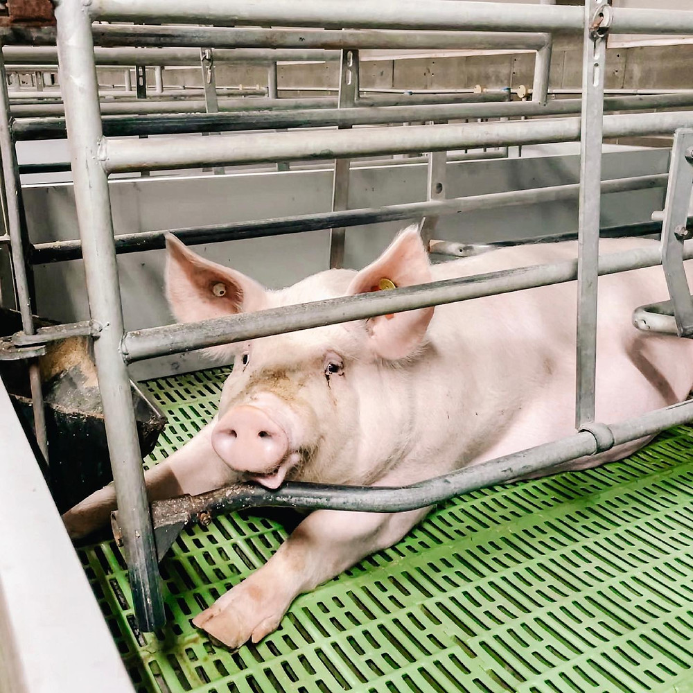 Mother pig in a sow crate - Factory Farming