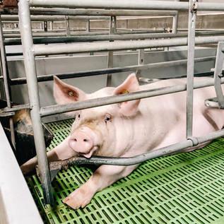 Factory Farming ~ Legalised Cruelty