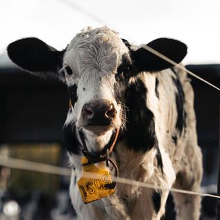 Why Being Vegetarian isn't Enough - Living Ahimsa