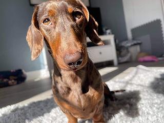 Lola the Dachshund