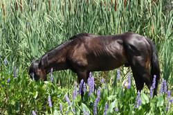 Cracker horse