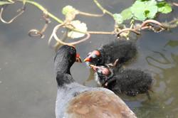 Common Gallinule feeding chick
