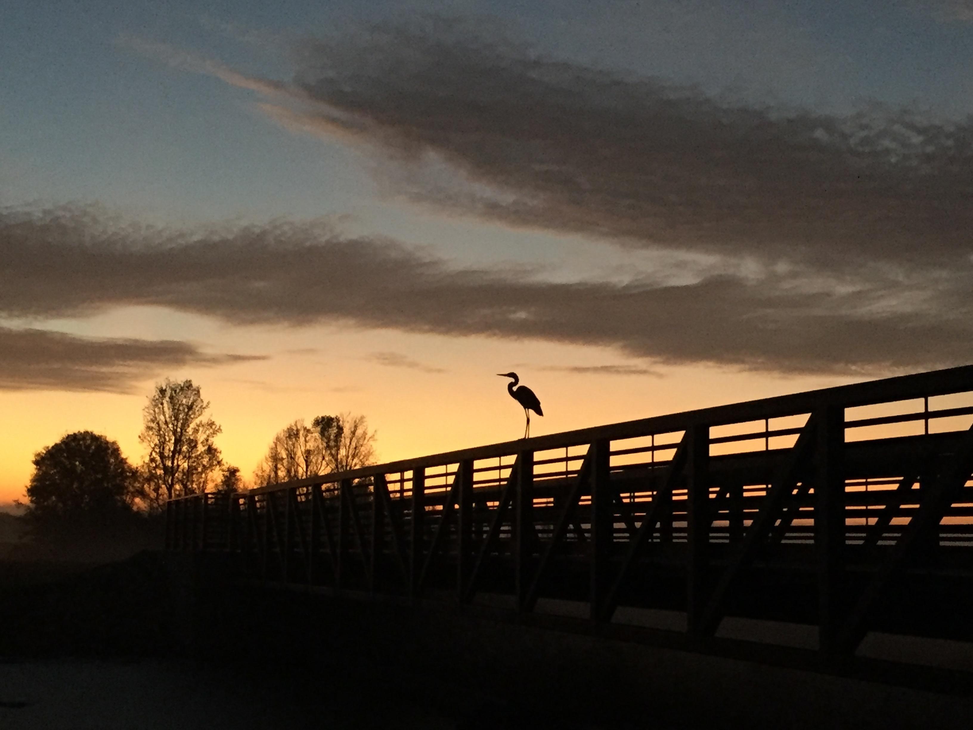 Sunset heron