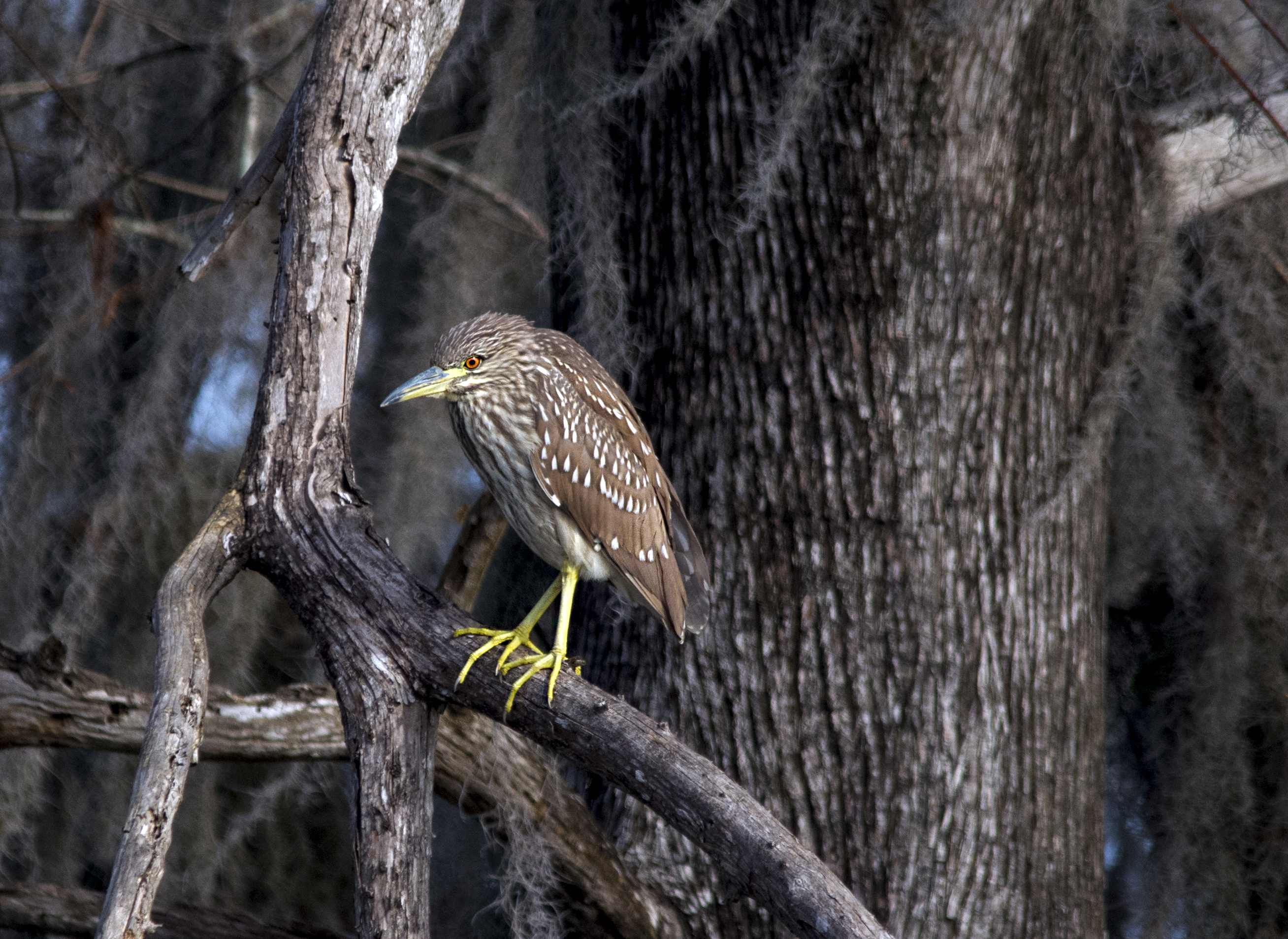 Baby Black-crowned Night-Heron