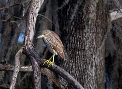 Baby Black-crowned Night-Heron