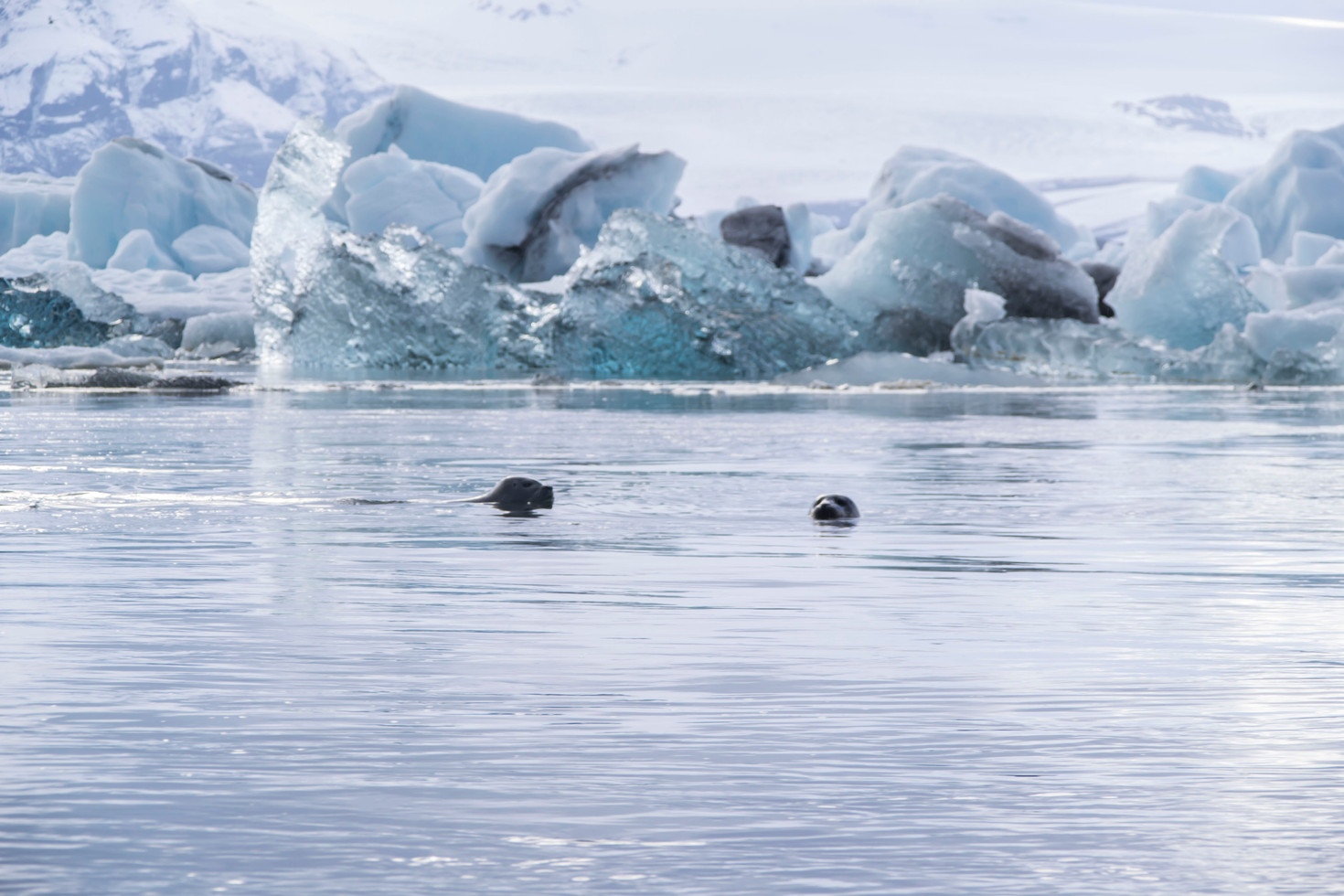 icebergs + seals at Jökulsárlón
