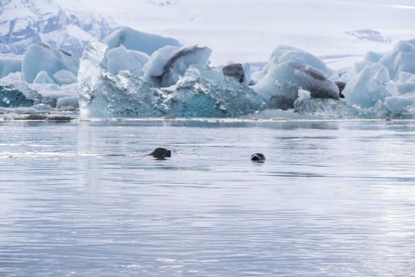 icebergs + seals at Jökulsárlón