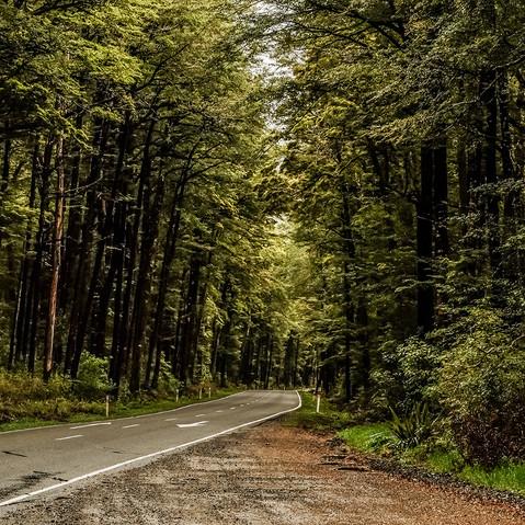 Beech Forest, Lewis Pass