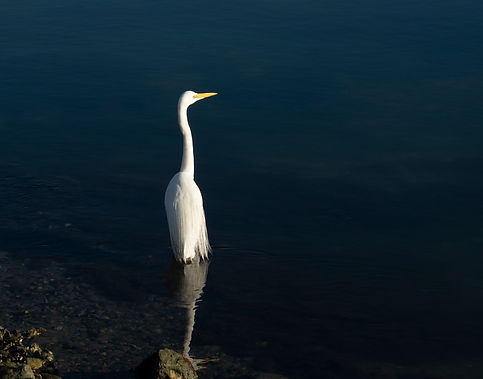 CAM11564 White heron .jpg