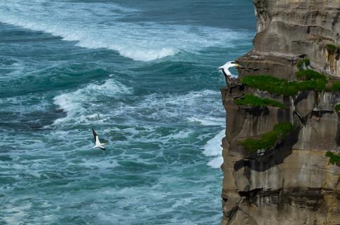 Two gannets, Murawai