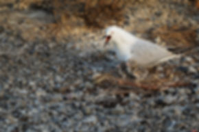 Cushla Moorhead-S-set-Chroicocephalus bu