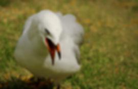 Grumpy Gull w.jpg