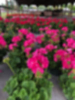 4-H Geraniums.jpg
