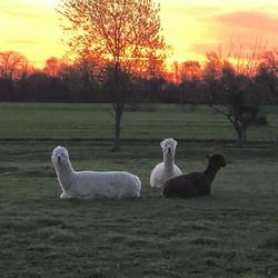 #sunrise#alpacas#peaceful