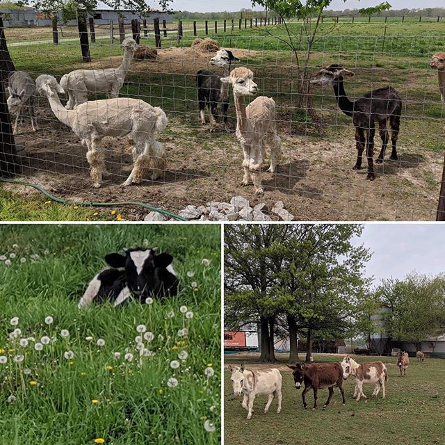 Springtime#alpacas#miniature donkeys#far