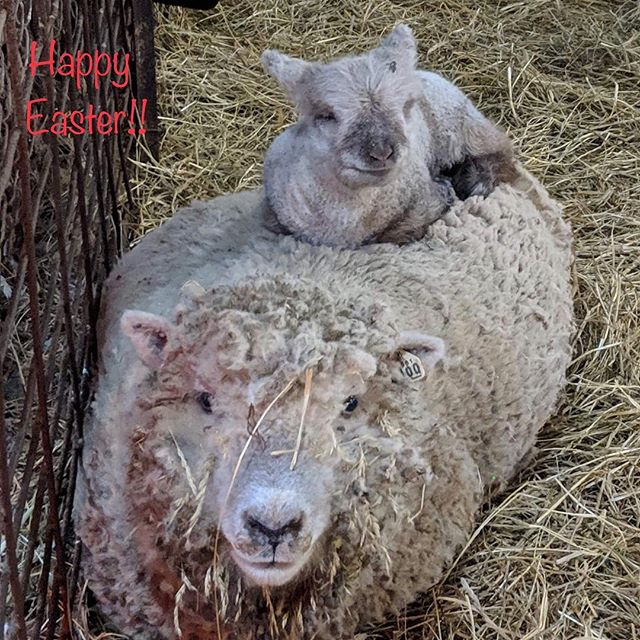 #Easter#Lamb#babydoll#sheep
