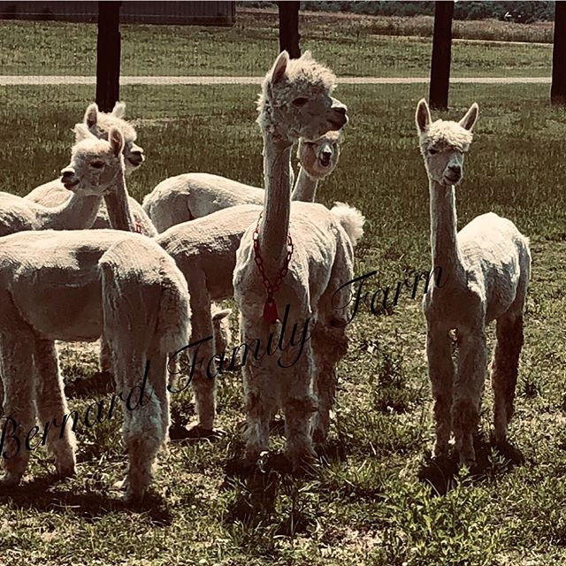 Loving our Alpaca friends!!!_#alpacas #f