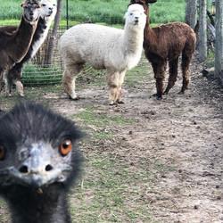 Photo bombing Emu.  #alpacas#emu