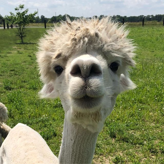 Hello there..._#alpacas #farmlife