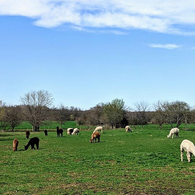 Spring is finally here!!#Farm#alpacas