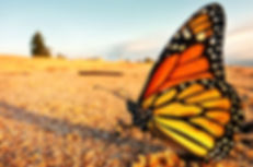 A monarch butterfly takes a well deserved break on the shores of Lake Superior in Minnesota on its n