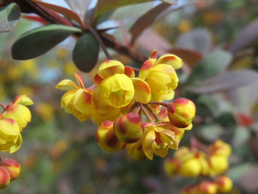 Berberine is so yellow and bitter but oh so amazing for almost everything!