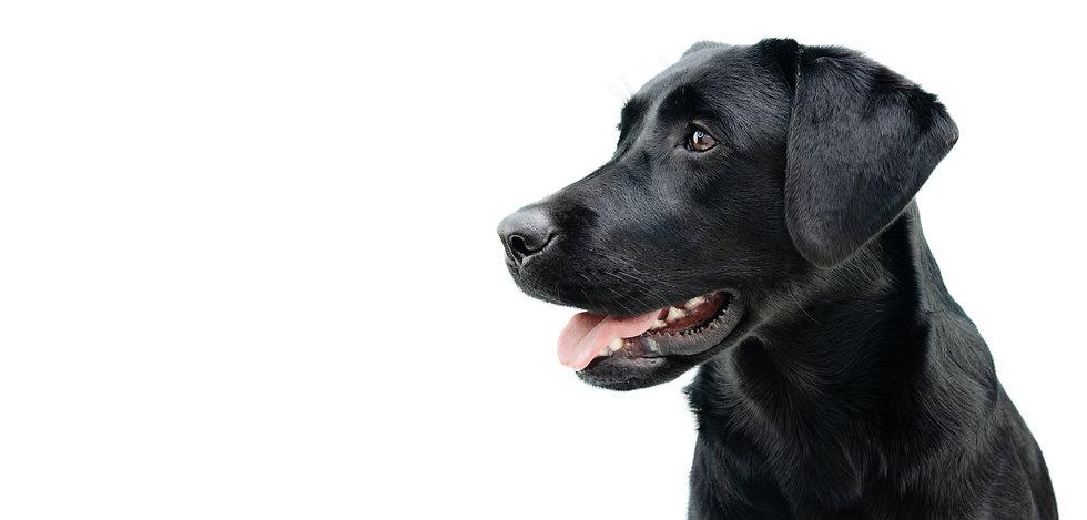 Profile black labrador puppy dog, Isolat