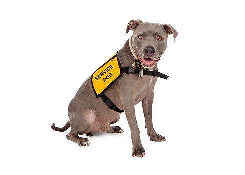 A happy blue Pit Bull dog wearing a yellow service dog vest.jpg
