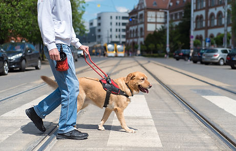 Guide dog is helping a blind man in the