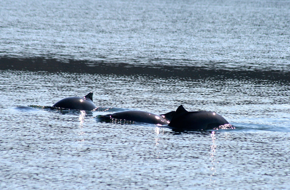 Schweinswale.jpg