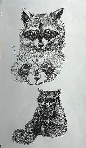 racoon sketches.jpeg