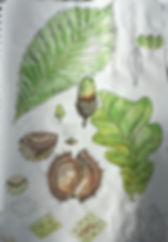 botanical studies - oak and chestnut.jpe