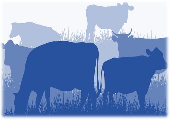 cows graze 2.PNG