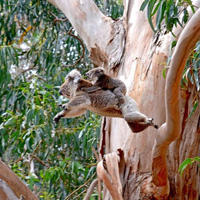 Bringing Back the Koalas!