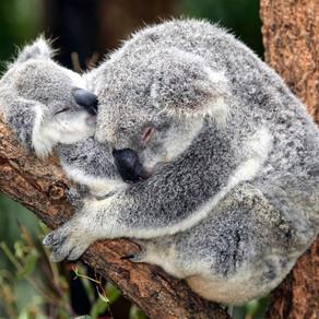 Wild Koalas in Noosa!