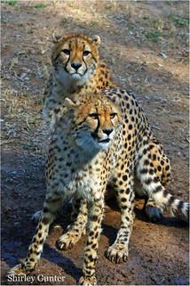 Cheetah  Siblings.jpg