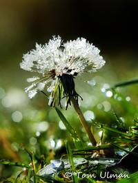Dew Flower.jpg