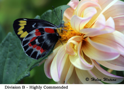 Div B - Highly Commended - Butterfly.jpg