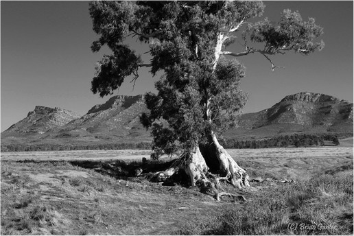Cazneaux Tree.jpg