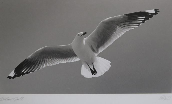 Peter Robinson Print - Silver Gull.jpg