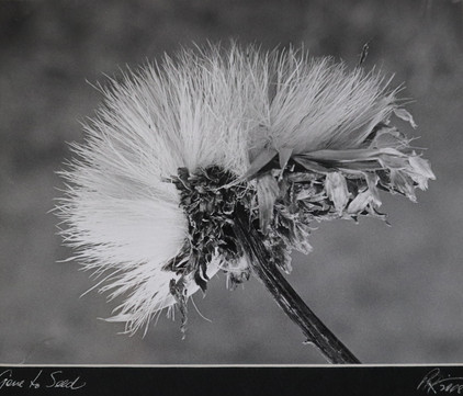 Peter Robinson Print - Gone to Seed.jpg