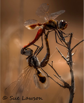 Mating Dragonflies.jpg