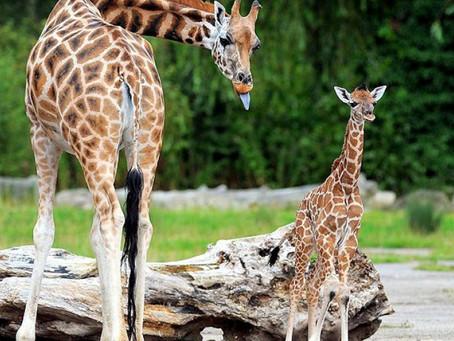 Sabia que a girafa dorme em pé? Conheça mais sobre o sono dos animais
