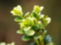 www.maxpixel.net-Buxus-Boxwood-Garden-Pl